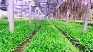 Độc đáo mô hình trồng rau mùi tàu trong nhà lưới ở Nghệ An