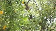 Chiêm ngưỡng vẻ cổ kính cây thị Đền Hạ