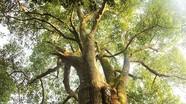 Quần thể cây cổ thụ gần 700 năm tuổi trong khuôn viên đền thờ ở Nghệ An