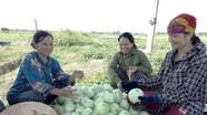 Dưa lê ở Nghệ An đạt 200 triệu đồng/hécta
