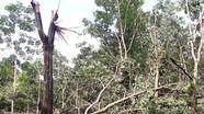 Nghệ An: Xót xa nhiều diện tích cao su đang khai thác bị giông lốc quật gãy