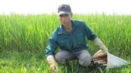 'Sát thủ' lươn đồng nổi danh huyện lúa