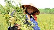 Vừng đen, cây trồng chống hạn, thu nhập cao.