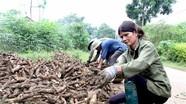 Nông dân thu hoạch sắn non chạy mưa lũ
