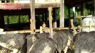 Nuôi đà điểu - hướng đi mới của nông dân huyện Quế Phong