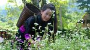 Hoa tam giác mạch rực rỡ ở miền Tây xứ Nghệ
