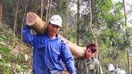 Nhiều khó khăn trong trồng rừng gỗ lớn