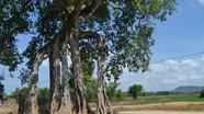 16 cây cổ thụ ở Yên Thành được công nhận di sản lịch sử văn hóa