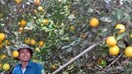 Vườn cam ngon nổi tiếng của chàng trai 9X ở xứ Nghệ