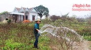 Nông dân Quỳnh Lưu chăm sóc hoa đào phục vụ tết