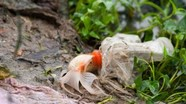 Cá chép ông táo mắc cạn trong túi rác sau khi được thả