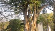 12 cây quý ở Nghệ An được công nhận là cây Di sản