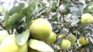 JICA hỗ trợ Con Cuông xây dựng vườn cam sinh thái
