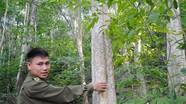 Nghệ An hỗ trợ 50% giá cây giống lim xanh, lát hoa để trồng rừng