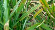 Bệnh đạo ôn có nguy cơ làm giảm năng suất lúa