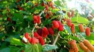 Rực đỏ mùa dâu miền Tây Nghệ An