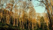 Rừng săng lẻ Tương Dương mùa trút lá