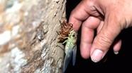 Soi đèn săn ve sầu thoát xác ở miền Tây Nghệ An