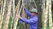 Anh Sơn: Lãi cao từ trồng mía ép nước giải khát