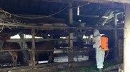 Quỳ Hợp xuất hiện dịch bệnh lở mồm long móng ở gia súc