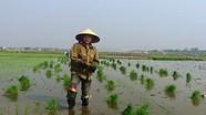 Hỗ trợ 50% giá giống lúa hè thu vùng sâu trũng