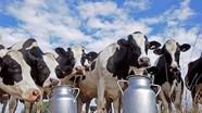 Đại gia thuê máy bay chở 4.000 bò sữa về cứu dân Qatar