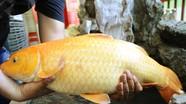 Câu được cá chép vàng khủng ở Hồ Goong