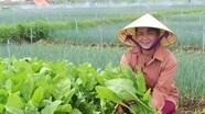 Quỳnh Lưu trồng rau cải bó xôi Nhật Bản cho thu nhập cao