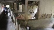 Giá lợn hơi tăng, người chăn nuôi không còn lợn để bán