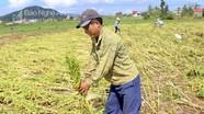 Nông dân khóc ròng vì vừng sắp thu hoạch đổ sạp sau bão