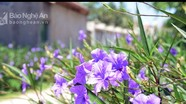 Tím sắc hoa đường làng quê Yên Thành