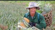 Nghệ An: Dứa thu hoạch cuối vụ được giá