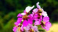 Sắc tím hoa săng lẻ ở vùng cao xứ Nghệ