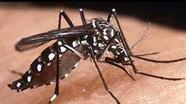 Nhận biết muỗi vằn hút máu truyền bệnh sốt xuất huyết