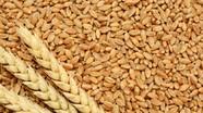 Ăn nhiều lúa mì giảm nguy cơ bị ung thư kết trực tràng
