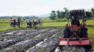 Xóm trưởng mượn 5 ha đất lúa bỏ hoang để trồng ngô đông