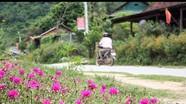 Người dân vùng cao rủ nhau trồng hoa bên Quốc lộ