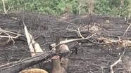 Kịp thời xử lý vụ hủy hoại rừng khoanh nuôi tái sinh ở Quỳ Hợp