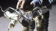 'Độc chiêu' ra tay diệt chuột đêm của lão nông Nghệ An