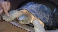 Cụ rùa gần 16kg ở Nghệ An thuộc loại quý hiếm nằm trong sách đỏ