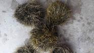 Kỳ dị 1 con lợn nái có tới 5 'cát lợn' ở Nghệ An