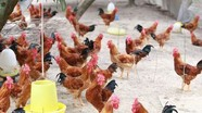 Cách nuôi gà thả vườn cho hiệu quả kinh tế cao