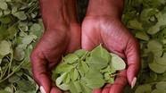 Cây chùm ngây 'cháy hàng' trên Amazon nhưng lại mọc như cây dại ở Việt Nam