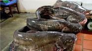 Hưng Nguyên nuôi thành công cá leo thương phẩm