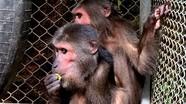 Nghệ An: Trao 2 cá thể khỉ mặt đỏ quý hiếm về vườn Quốc gia Pù Mát