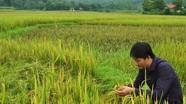 Bệnh lùn sọc đen làm mất trắng trên 1.400 ha lúa mùa