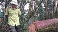 Vụ 13 cây pơ mu bị đốn hạ ở Quế Phong: Nhức nhối chuyện phá rừng