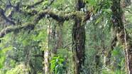 Cận cảnh những cây chè cổ thụ 1.000 năm