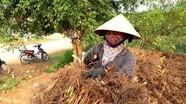Nghệ An: Nông dân xuất bán hàng tấn rễ hương phục vụ Tết