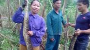 Nông dân Nghệ An bắt được hai con trăn quý trên ruộng mía